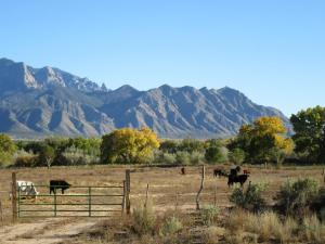 Cows in Bernalillo, NM